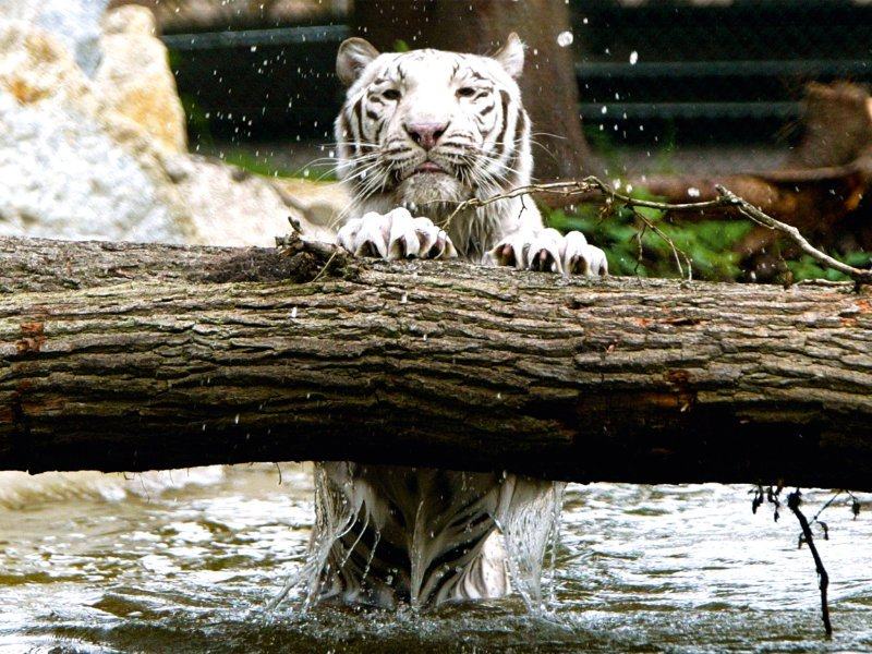 Weißer Tiger (c) Serengeti Park