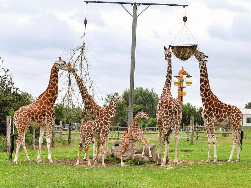 Giraffen am Futterplatz © Jaderpark (Barbara Minnemann)