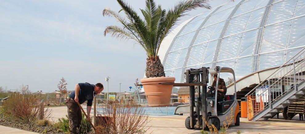 Limousinen-Service für die Palmen: Nach der frostigen Winterzeit verlassen die großen Gewächse ihr Winterquartier und nehmen ihren ursprünglichen Platz im Außenbereich ein. © Tropical Islands