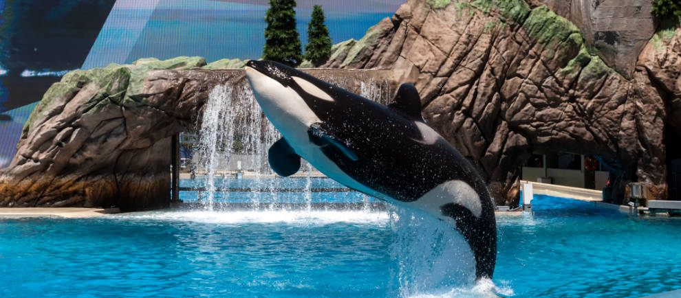 Mit den Orcas wurden die SeaWorld Freizeitparks weltberühmt. © Mike Aguilera/SeaWorld San Diego