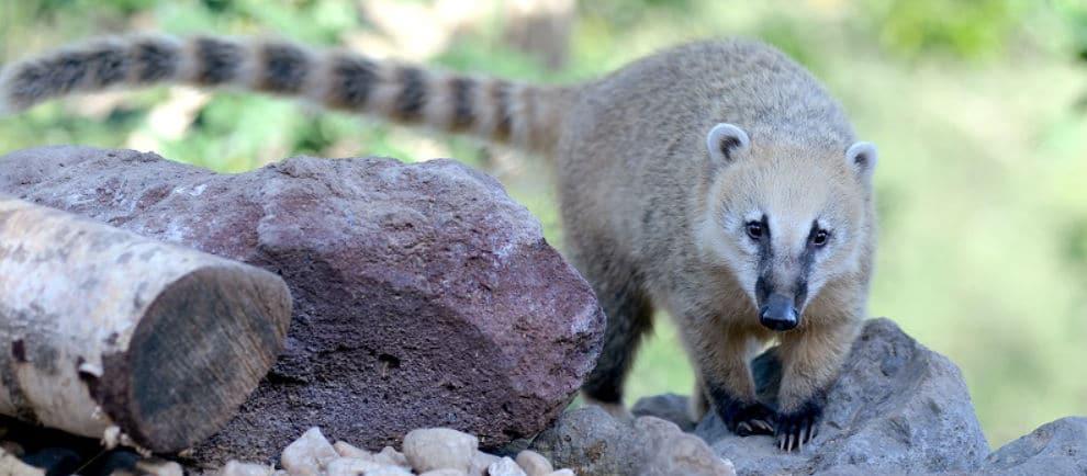 Besuch die Nasenbären im Tierpark in Klotten © Wild- und Freizeitpark Klotten