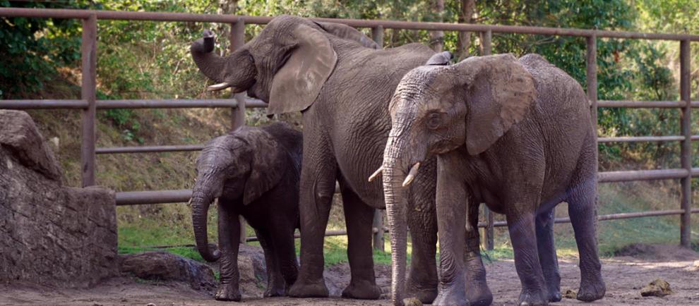 Die Elefanten Ayo, Bibi und Panya. © Serengeti-Park